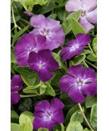 Wine Common Periwinkle
