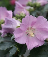 Pollypetite® Rose of Sharon