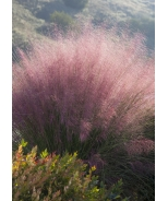 Plumetastic® Pink Muhly Grass