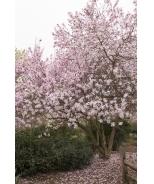 Leonard Messel Magnolia