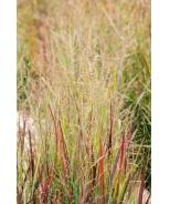 Heavy Metal Blue Switch Grass