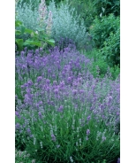Ashdown Forest English Lavender