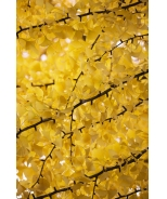 Autumn Gold Ginkgo
