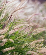 Karley Rose Oriental Fountain Grass