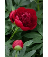 Red Charm Double Peony