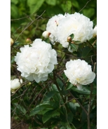 Double White Herbaceous Peony