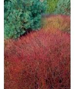Kelsey's Dwarf Red-Osier Dogwood