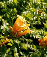 Yellow Trumpet Vine