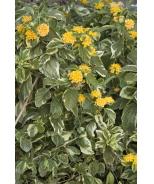 Lemon Swirl® Bush Lantana