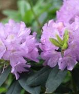 Grandiflorum Catawba Rhododendron