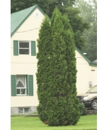 Skybound Arborvitae