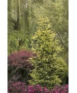 Sunburst™ Black Hills Spruce