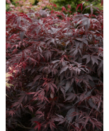 Burgundy Lace Japanese Maple