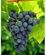 Chambourcin Blue-Purple Wine Grape