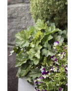 Cool Wave® Violet Wing Pansy