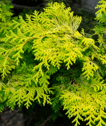 Golden Hinoki False Cypress