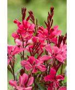 Gaudi™ Red Wand Flower
