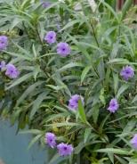 Mexican Hardy Petunia