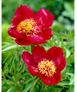 Early Scout Fernleaf Peony