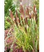 Red Head Fountain Grass