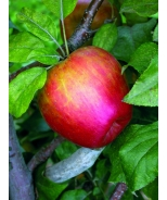 Honeycrisp™ Apple