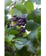 Pixie™ Pinot Meunier Purple Grape
