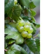 Pixie™ Pinot Meunier White Grape