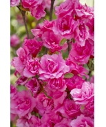 Kimberly's Double Pink Evergreen Azalea