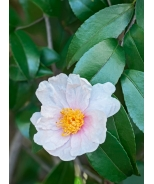 Winter's Star Camellia