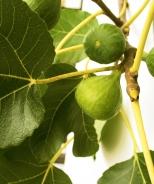 Peter's Honey Fig