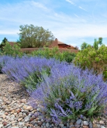 CrazyBlue Russian Sage