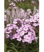 Cotton Candy Garden Phlox