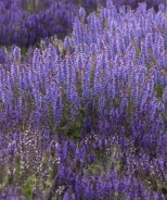 Marcus® Meadow Sage