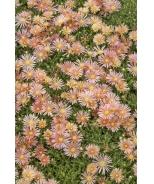 Mesa Verde® Ice Plant
