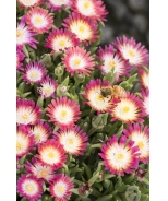 Jewel of Desert Ruby Ice Plant