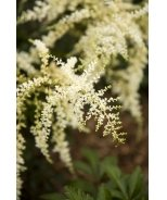 White Sensation Astilbe