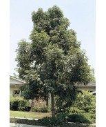 Majestic Beauty® Evergreen Ash