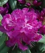Purple Passion Rhododendron