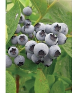 Burgundy Wild Lowbush Blueberry