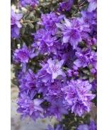Dwarf Purple Rhododendron
