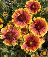 Goblin Blanket Flower