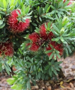 Better John™ Bottlebrush