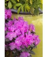 P.J.M. Elite Rhododendron