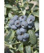 Brigitta Blue Midseason Blueberry