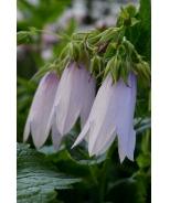 Iridescent Bells Bellflower