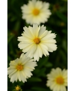 UpTick™ Cream Coreopsis