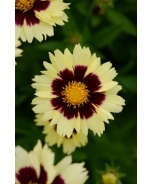 UpTick™ Cream & Red Coreopsis