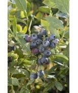 Hardyblue Midseason Blueberry