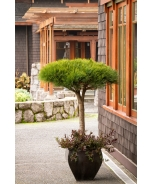 Compact Tanyosho Japanese Red Pine