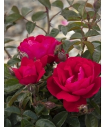 Grace N' Grit™ Pink Shrub Rose